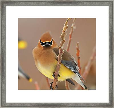 Cedar Wax Wing Framed Print by Carl Shaw