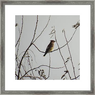 Cedar Wax Wing In Tree Framed Print