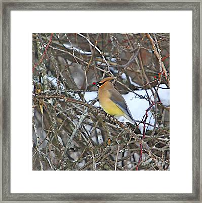 Cedar Wax Wing Framed Print by Robert Pearson