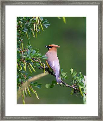 Framed Print featuring the photograph Cedar Waxwing 1 by Ben Upham III