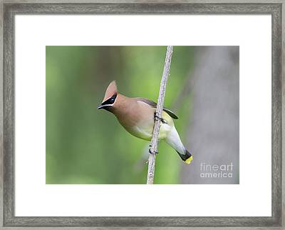 Framed Print featuring the photograph Cedar Waxwing 1 by Chris Scroggins