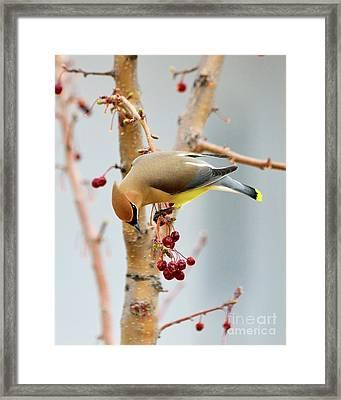 Cedar Waxwing 2 Framed Print by Betty LaRue