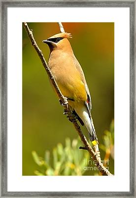 Cedar Waxwing Framed Print by Adam Jewell