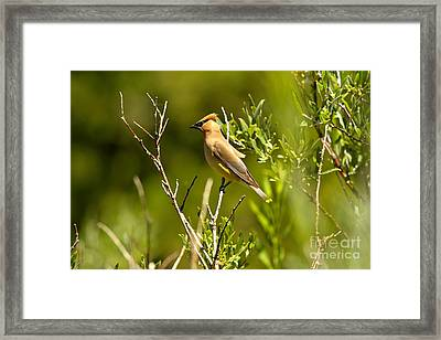 Cedar Waxwing At Glacier Framed Print by Adam Jewell