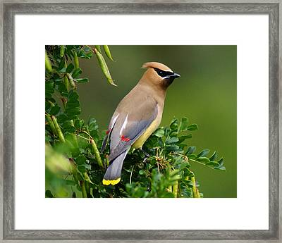 Framed Print featuring the photograph Cedar Waxwing by Ben Upham III