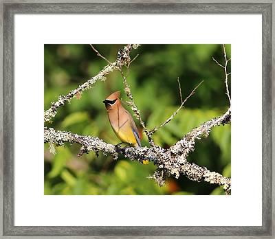 Cedar Waxwing  Framed Print by Carol R Montoya