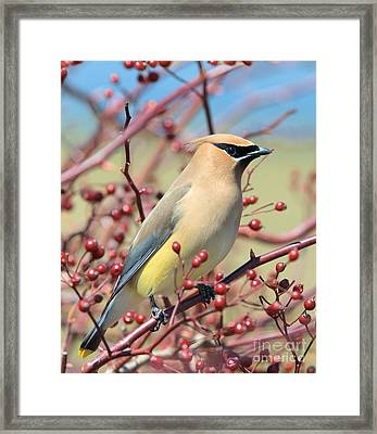 Framed Print featuring the photograph Cedar Waxwing by Debbie Stahre