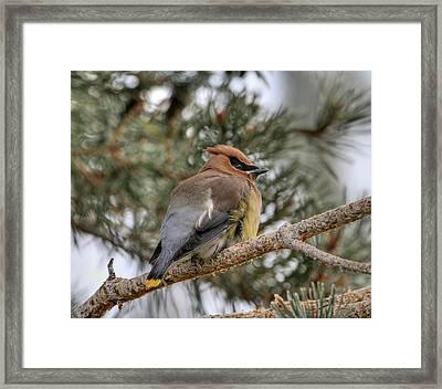 Cedar Waxwing Framed Print by Donna Kennedy