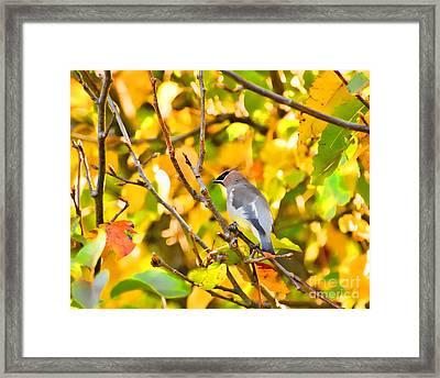 Cedar Waxwing In Autumn Leaves Framed Print by Kerri Farley