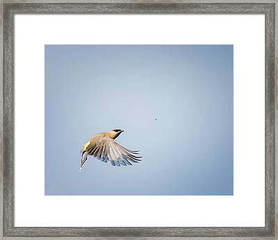 Cedar Waxwing In Flight Framed Print by Bill Wakeley