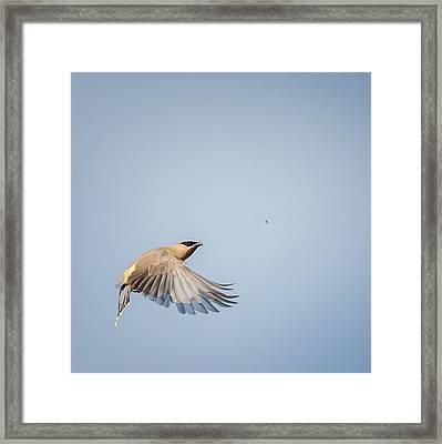 Cedar Waxwing In Flight Square Framed Print by Bill Wakeley