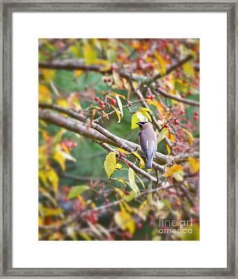 Cedar Waxwing In The Berries Framed Print by Kerri Farley