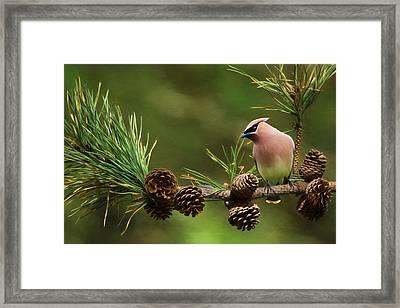 Cedar Waxwing Framed Print by Lori Deiter