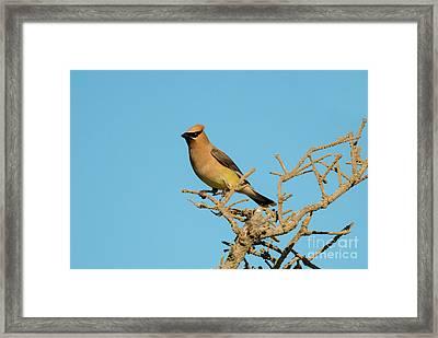Cedar Waxwing Framed Print by Mike Dawson