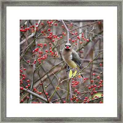 Cedar Waxwing Mouthfull Square Framed Print by Bill Wakeley