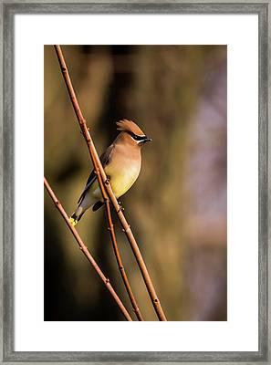 Cedar Waxwing On Branch Framed Print