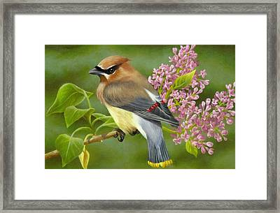 Cedar Waxwing On Lilac Framed Print by Karen Coombes