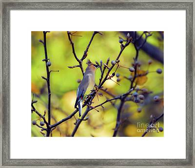 Framed Print featuring the photograph Cedar Waxwing With Windblown Crest by Kerri Farley of New River Nature