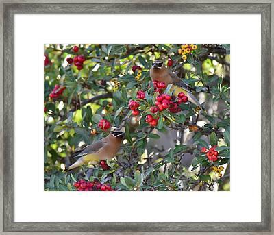Cedar Waxwings 3 Framed Print