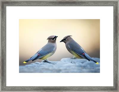 Cedar Waxwings Framed Print by Bonnie Barry
