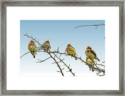 Cedar Waxwings Framed Print