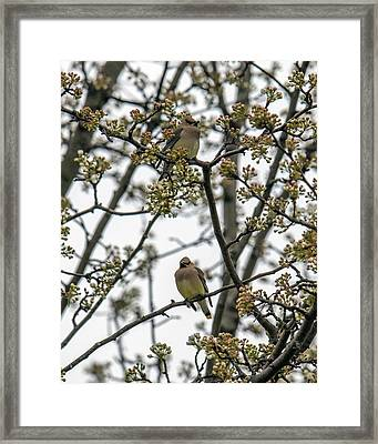 Cedar Waxwings In A Blossoming Tree Framed Print