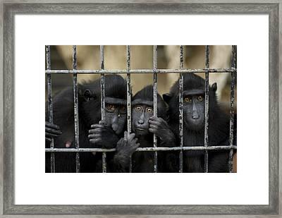 Celebes Macaques Macaca Nigra Sadly Framed Print