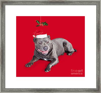 Celebrating Christmas With A Blue Staffie Dog Framed Print by Jorgo Photography - Wall Art Gallery