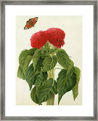 Celosia Argentea Cristata And Butterfly Framed Print