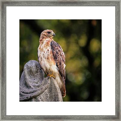 Cemetery Hawk Framed Print by James McGreehan