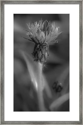 Centaurea Montana 1 Framed Print by Mo Barton