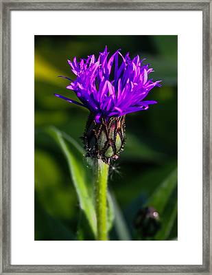 Centaurea Montana 2 Framed Print by Mo Barton