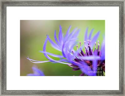 Centaurea Montana Framed Print by Tim Gainey