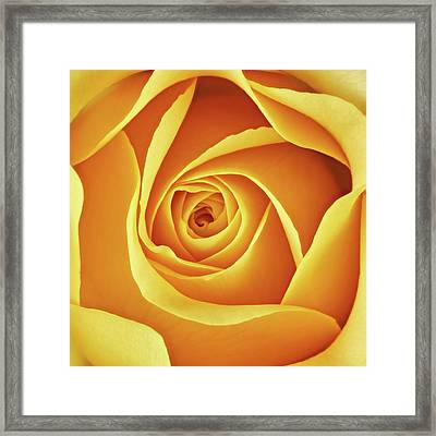 Center Of A Yellow Rose Framed Print by Jim Hughes