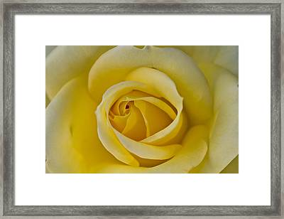 Centered Beautiful Yellow Rose Framed Print by Dina Calvarese
