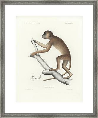 Central Yellow Baboon, Papio C. Cynocephalus Framed Print