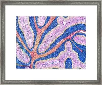Cerebellum Structure, Light Micrograph Framed Print