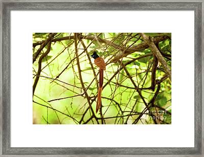 Ceylon Paradise Flycatcher Framed Print by Venura Herath
