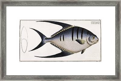 Chaetodon Glaucus Framed Print by German School