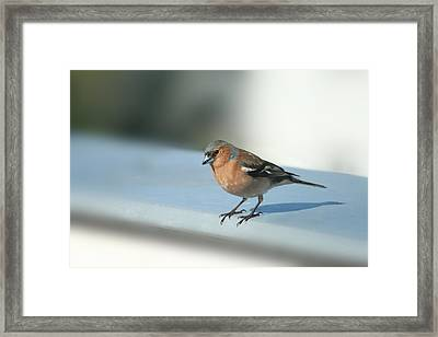 Chaffinch Framed Print by Heike Hultsch