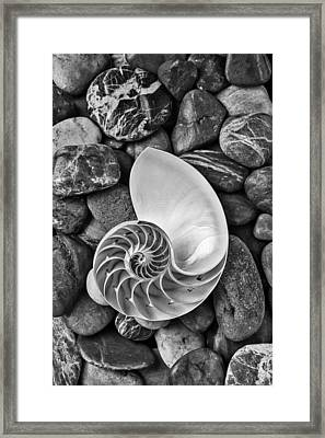 Chambered Nautilus Shell  On River Stones Framed Print by Garry Gay