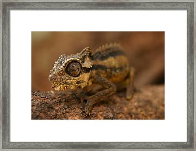 Framed Print featuring the photograph Chameleon by Riana Van Staden