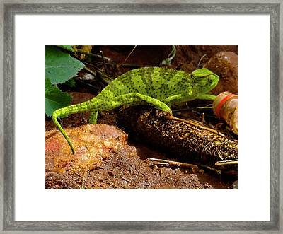 Chameleon Struts His Stuff Framed Print