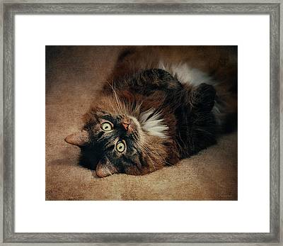 Champagne - My Lazy Main Coon Cat Framed Print by Maria Angelica Maira