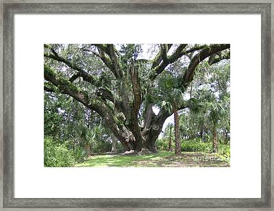 Champion Live Oak Lake Griffin Framed Print by Dodie Ulery