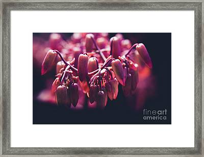 Chandelier Plant Kalanchoe - A Solitary Morning Framed Print by Sharon Mau