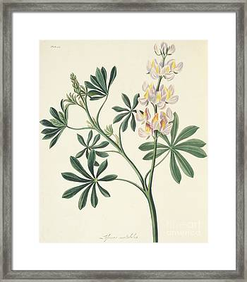 Changeable Flowered Lupin Framed Print