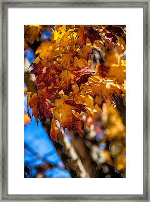 Changing Maples Framed Print by John Haldane