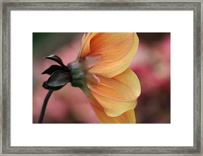 Chaperon Framed Print by Connie Handscomb