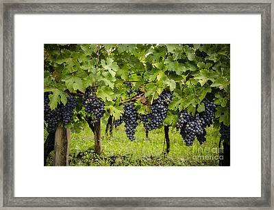 Chardonnay Grape Cluster Framed Print by Perry Van Munster